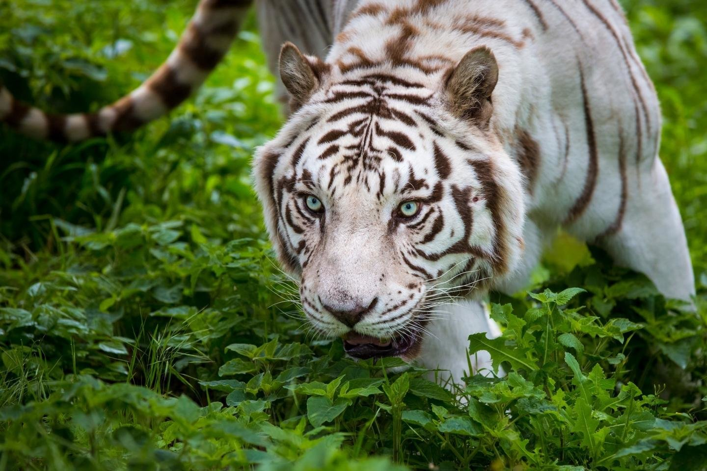 Free download White Tiger background ID:175052 hd 1440x960 for computer