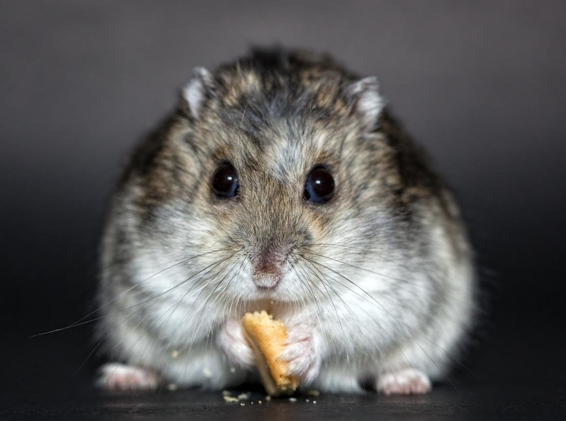 Free Hamster high quality background ID:234067 for hd 1120x832 PC