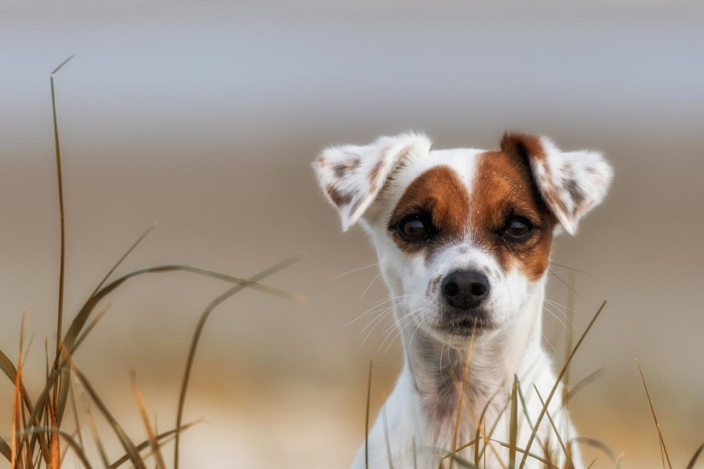 Awesome Jack Russell Terrier free background ID:124137 for hd 1440x960 computer