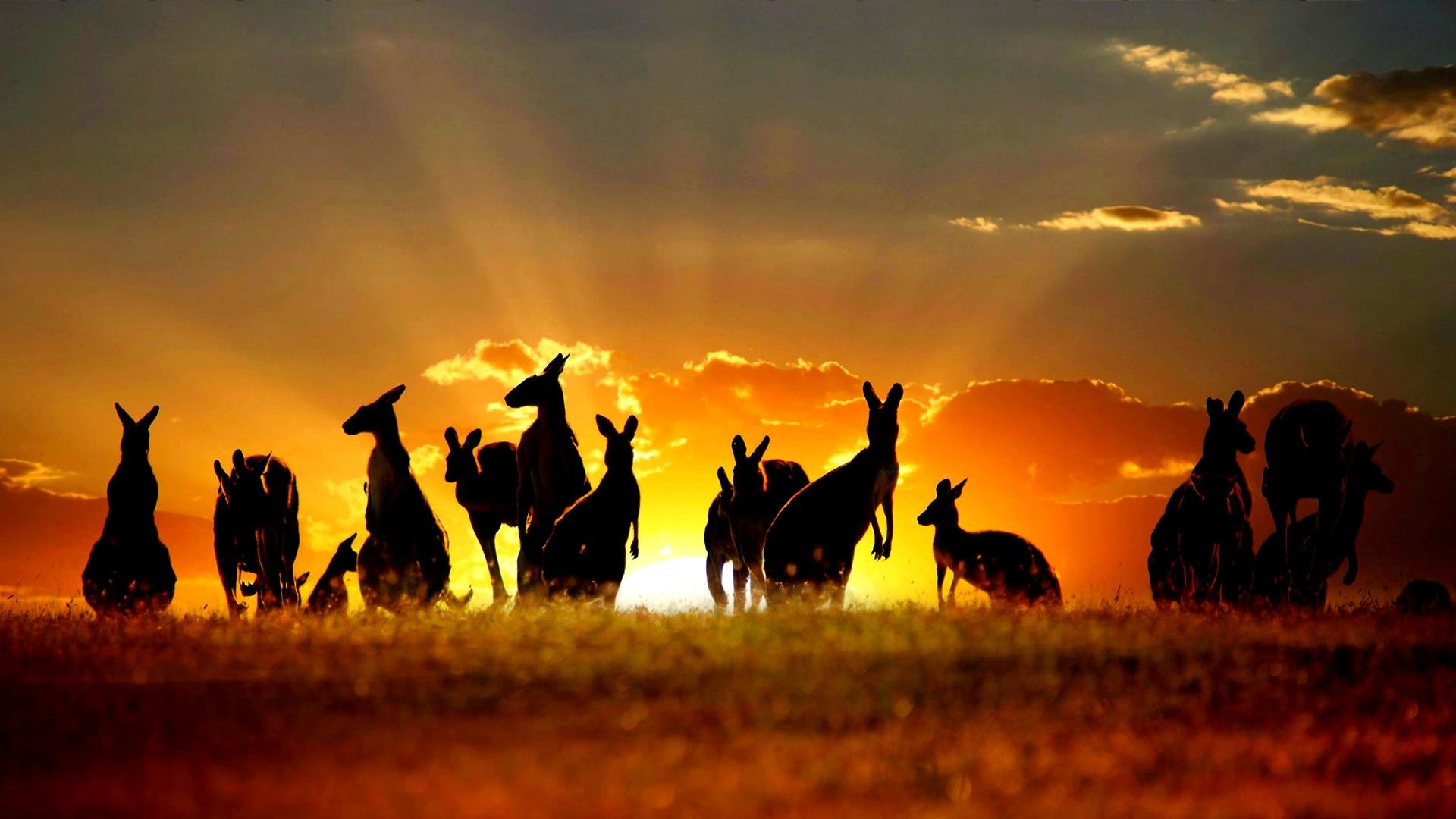 Download hd 1920x1080 Kangaroo PC background ID:122493 for free