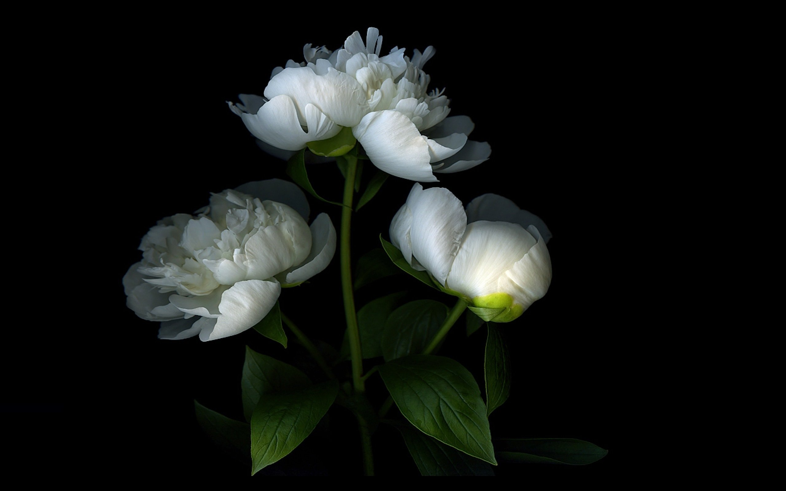 Free Peony High Quality Wallpaper Id 131519 For Hd 2560x1600 Desktop