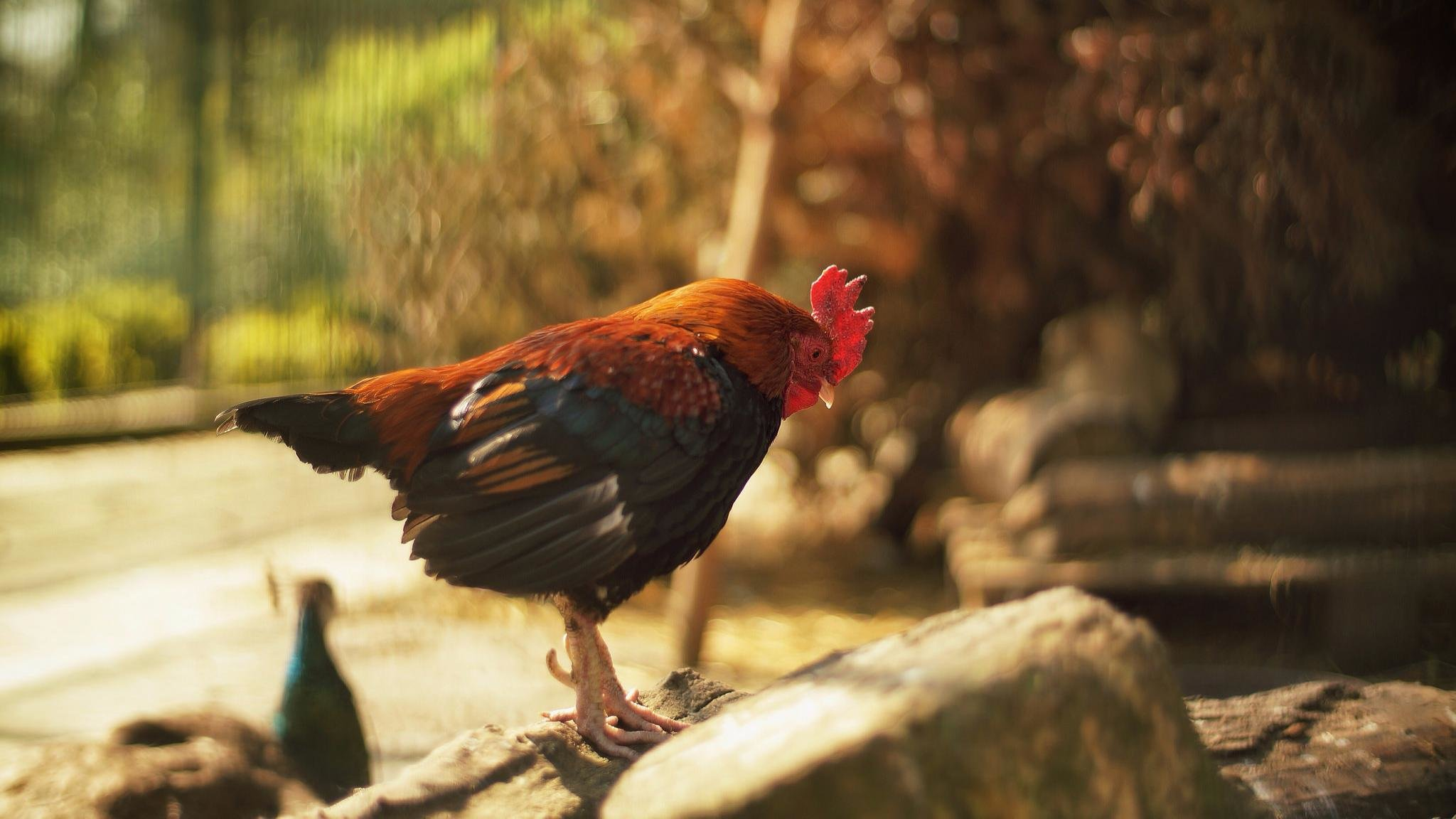 Free Rooster high quality wallpaper ID:123608 for hd 2048x1152 PC