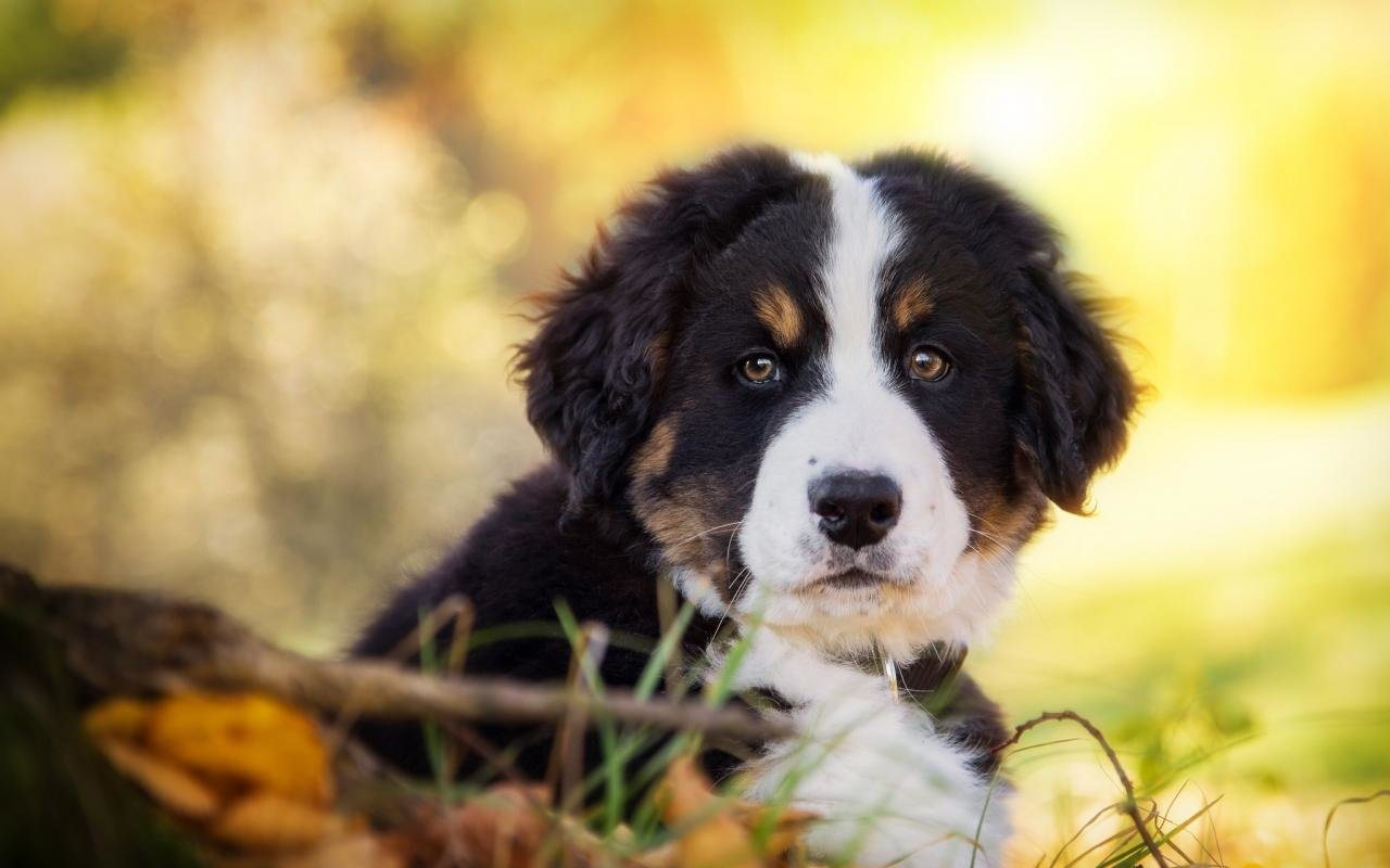 Best Sennenhund wallpaper ID:174729 for High Resolution hd 1280x800 computer