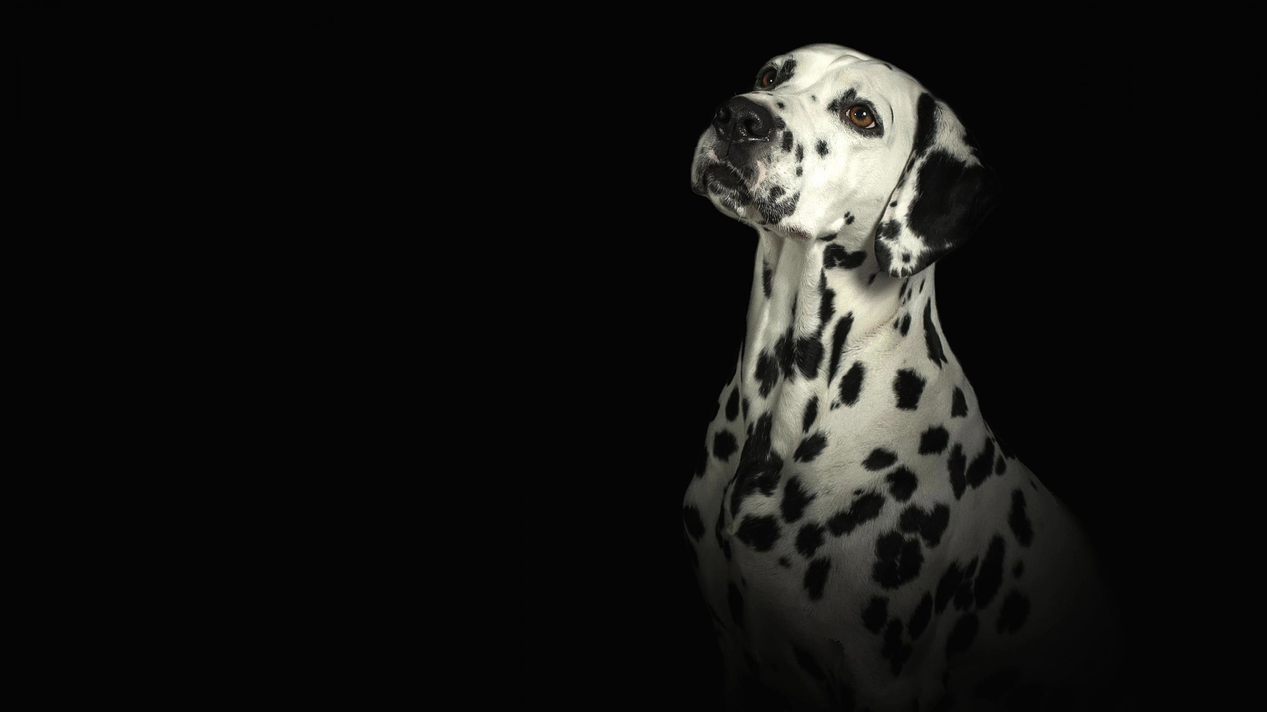 Free Dalmatian high quality background ID:433537 for hd 2560x1440 desktop