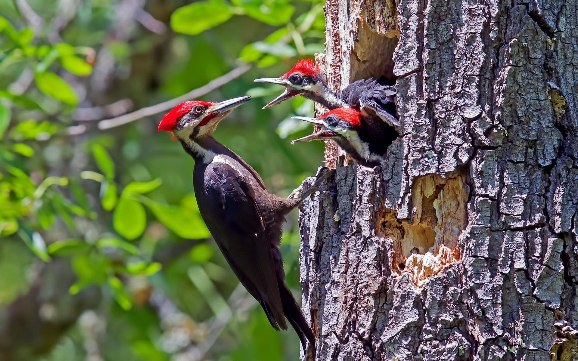 High resolution Woodpecker hd 1920x1200 wallpaper ID:135395 for desktop
