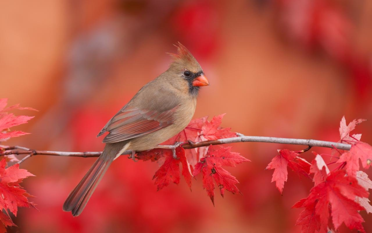 Awesome Cardinal free background ID:24718 for hd 1280x800 computer