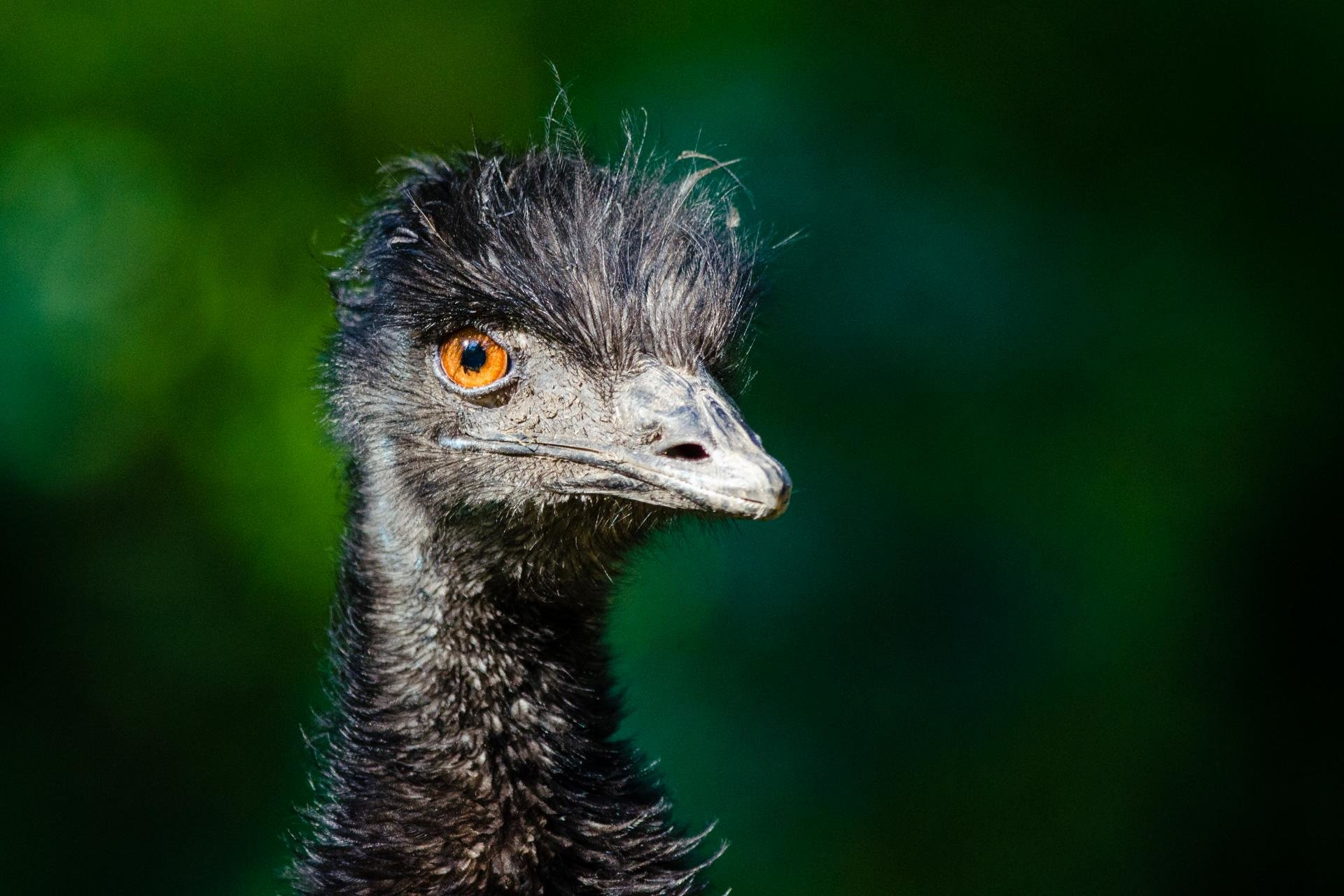 Download hd 1920x1280 Ostrich PC background ID:290162 for free