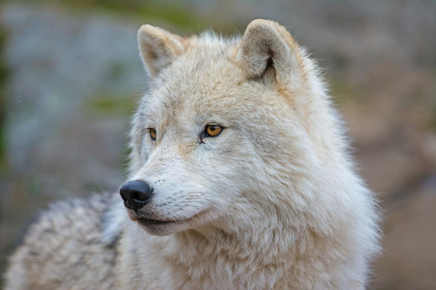 Awesome Arctic Wolf free background ID:233919 for hd 1440x960 PC