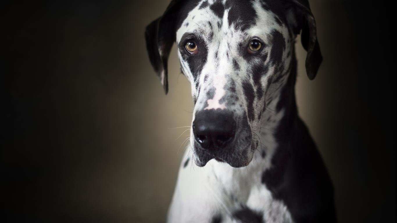Free Great Dane high quality wallpaper ID:303766 for 1366x768 laptop desktop