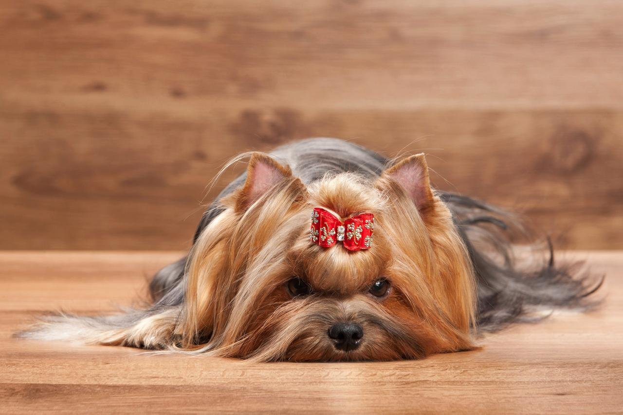 Download hd 1280x854 Yorkshire Terrier PC wallpaper ID:110975 for free