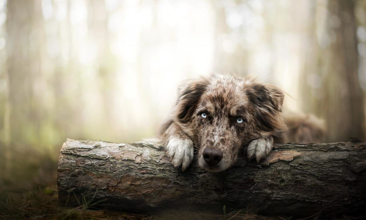 Best Australian Shepherd background ID:118741 for High Resolution hd 1280x768 computer