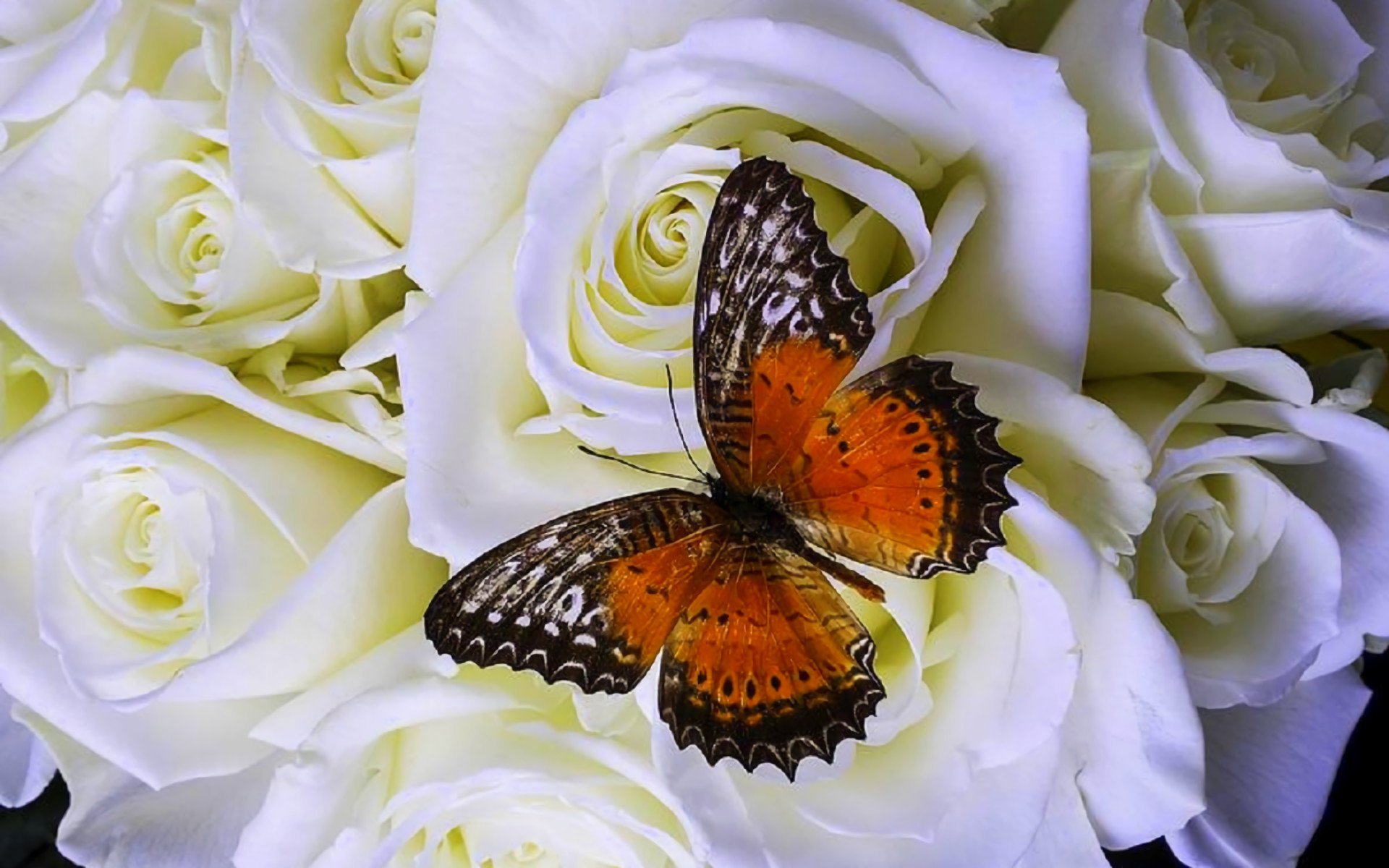 High resolution Butterfly hd 1920x1200 wallpaper ID:168697 for PC