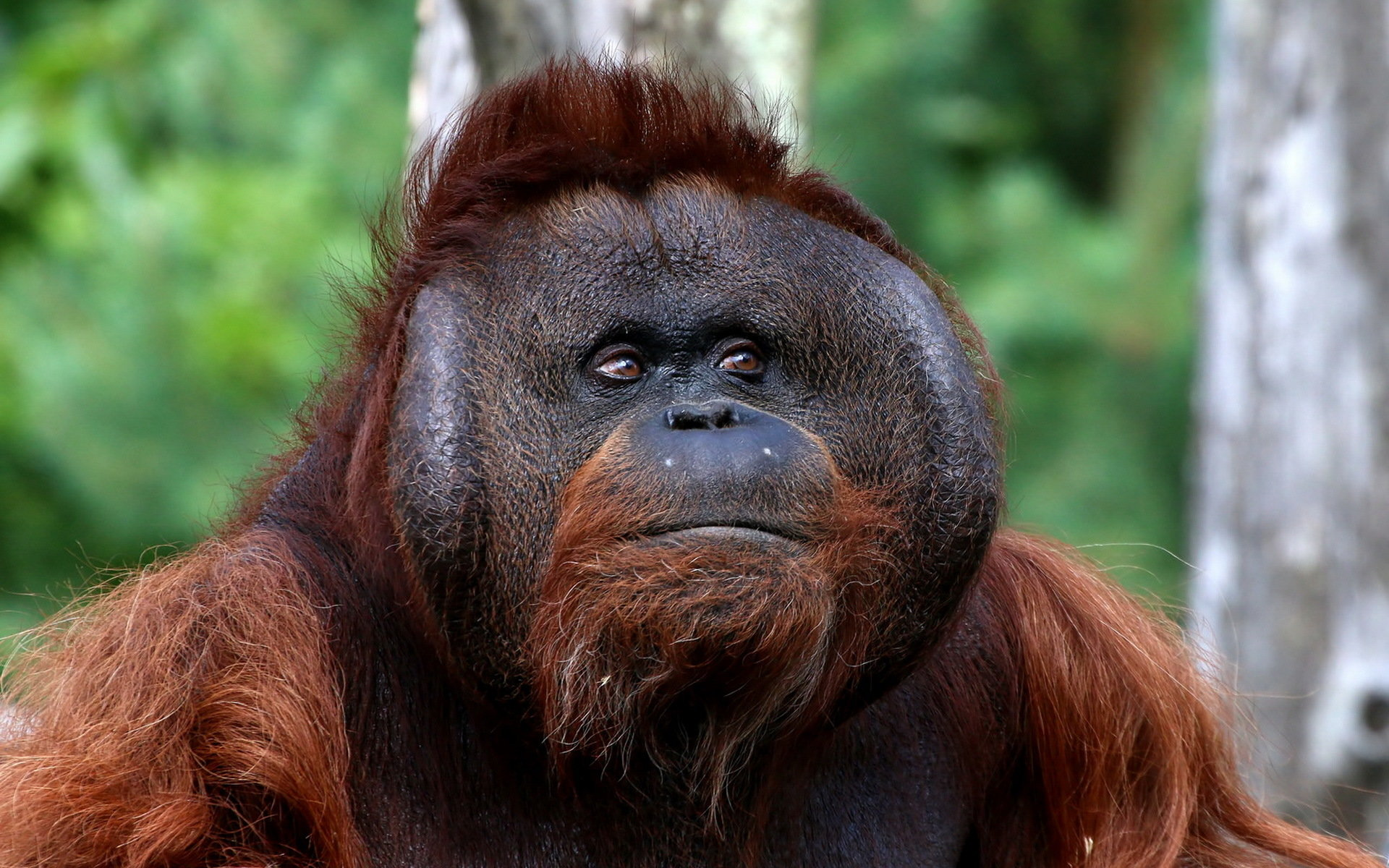 High resolution Orangutan hd 1920x1200 wallpaper ID:70074 for computer
