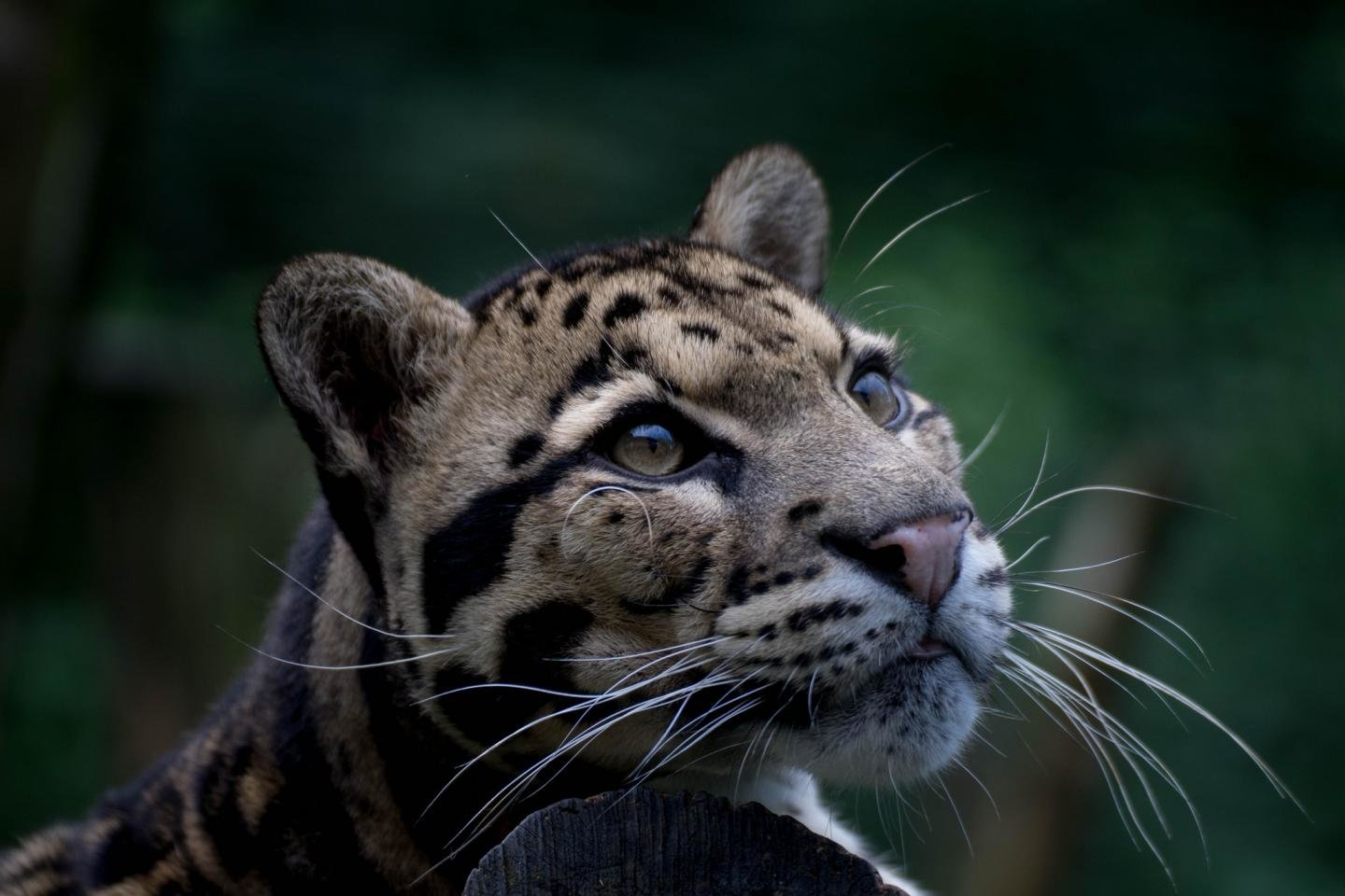 Free Clouded Leopard high quality background ID:260362 for hd 1440x960 desktop