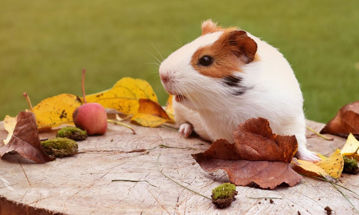 Free download Guinea Pig wallpaper ID:270989 hd 1200x720 for computer