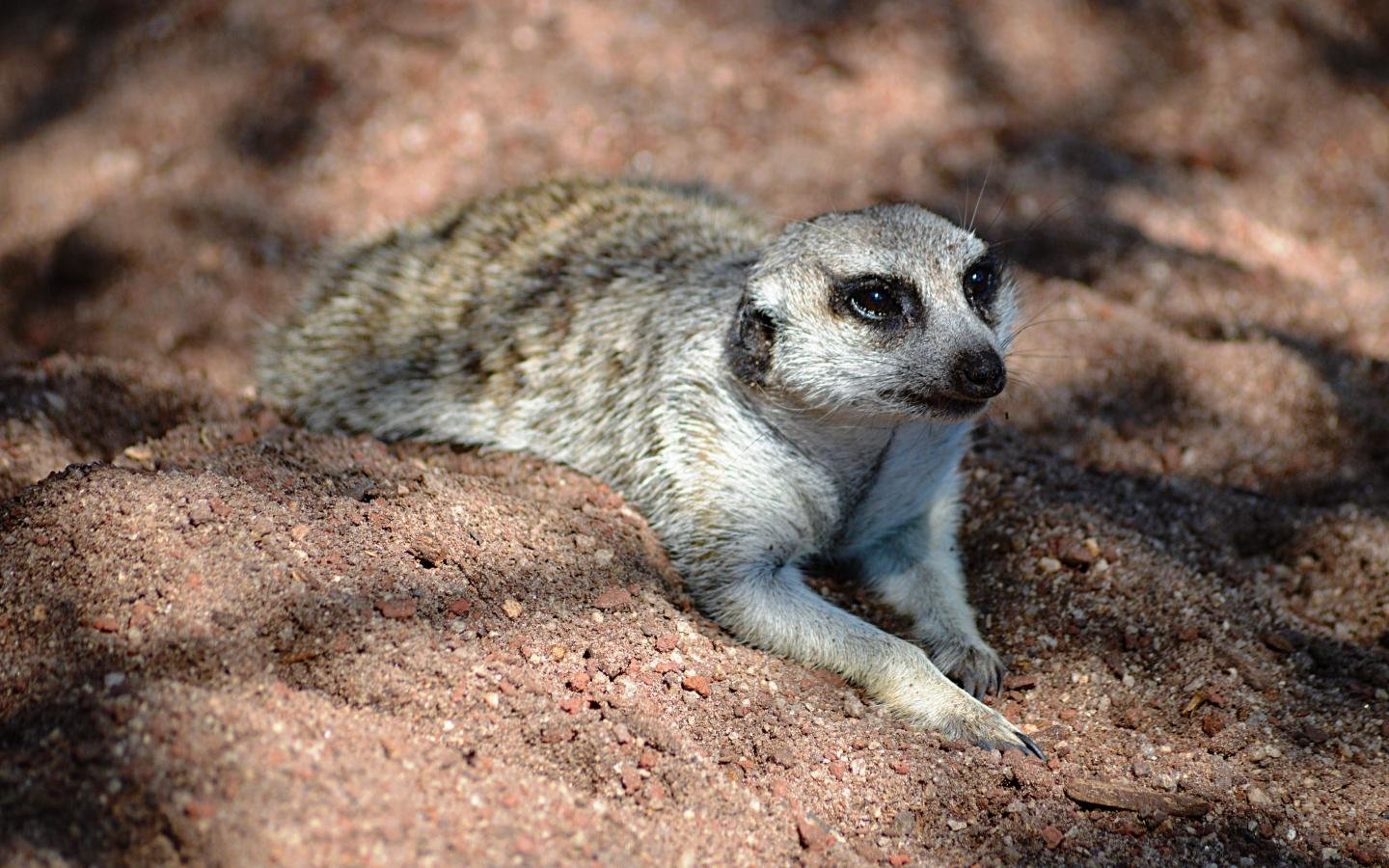 High resolution Meerkat hd 1440x900 wallpaper ID:164605 for desktop