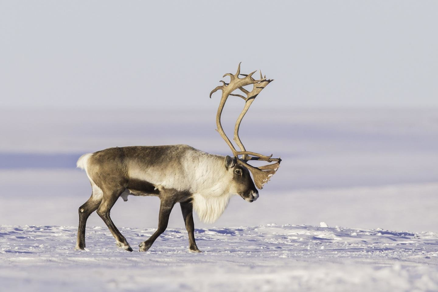 Awesome Reindeer free wallpaper ID:256635 for hd 1440x960 desktop