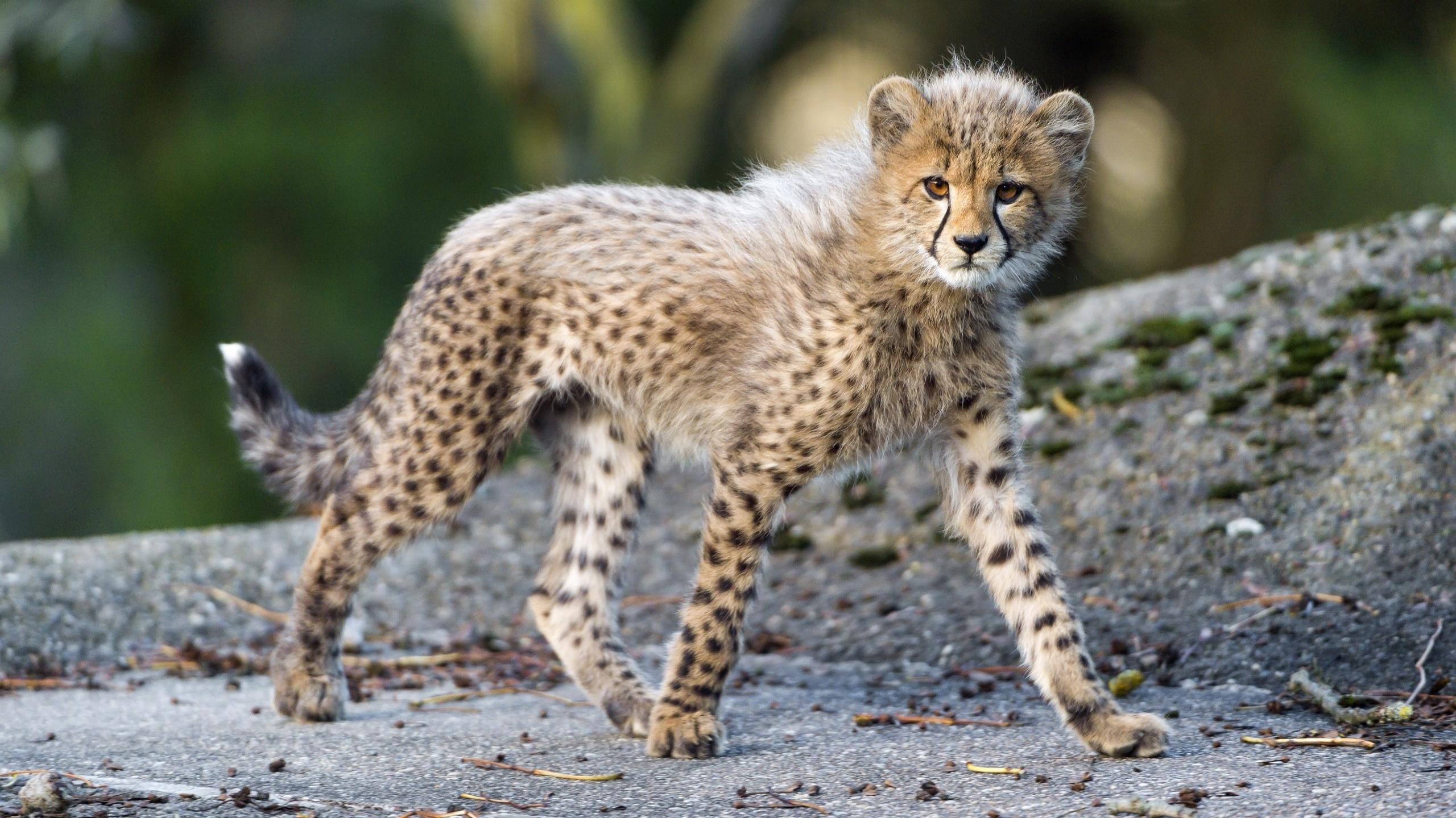 Cheetah wallpapers 2560x1440 desktop backgrounds