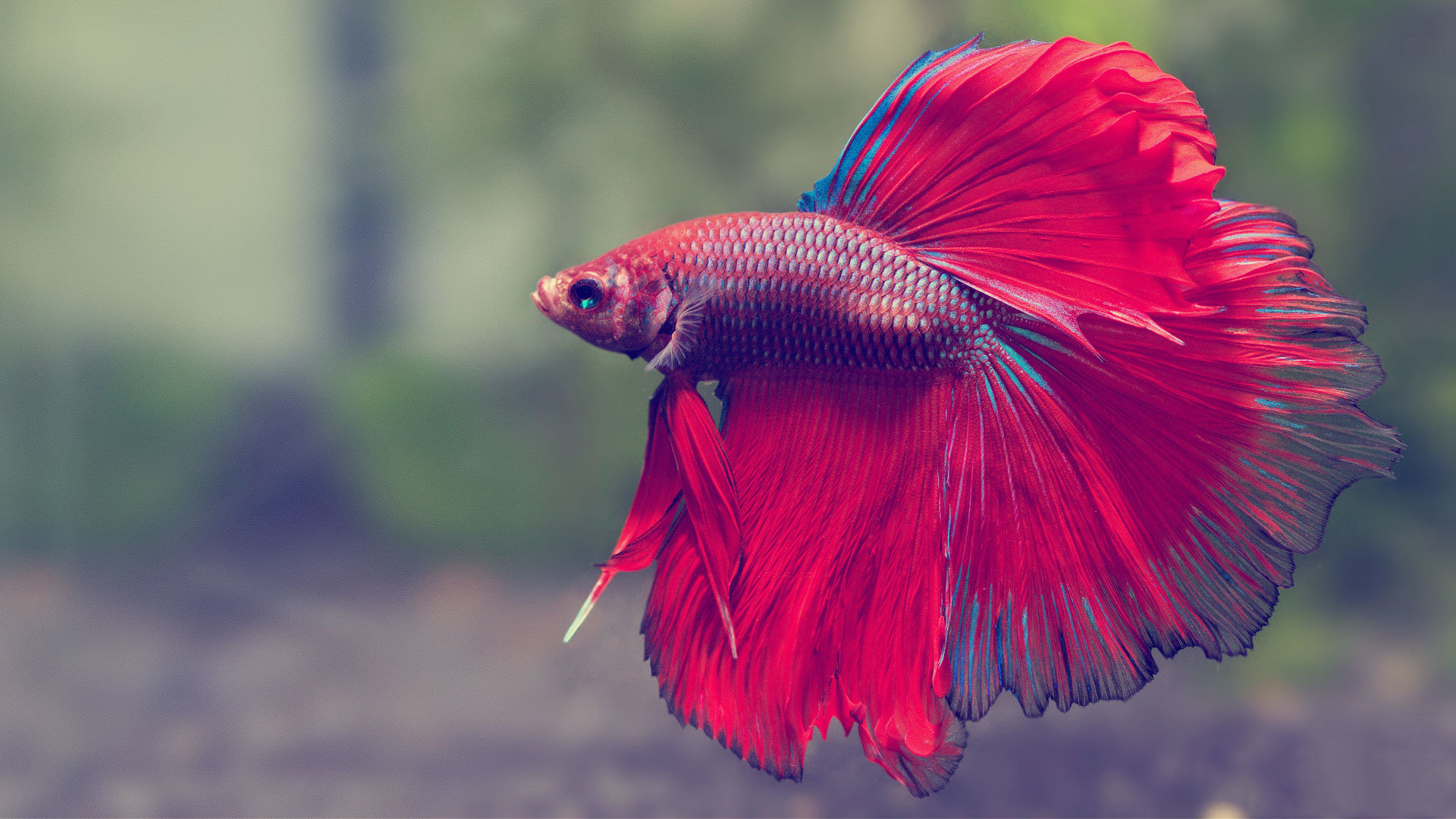 Download 1080p Betta desktop background ID:212071 for free