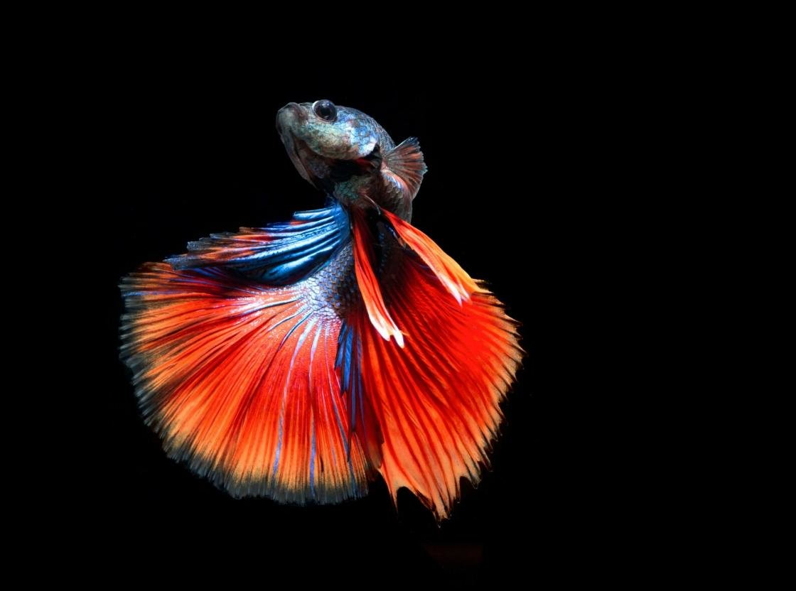 Free download Betta background ID:212076 hd 1120x832 for desktop