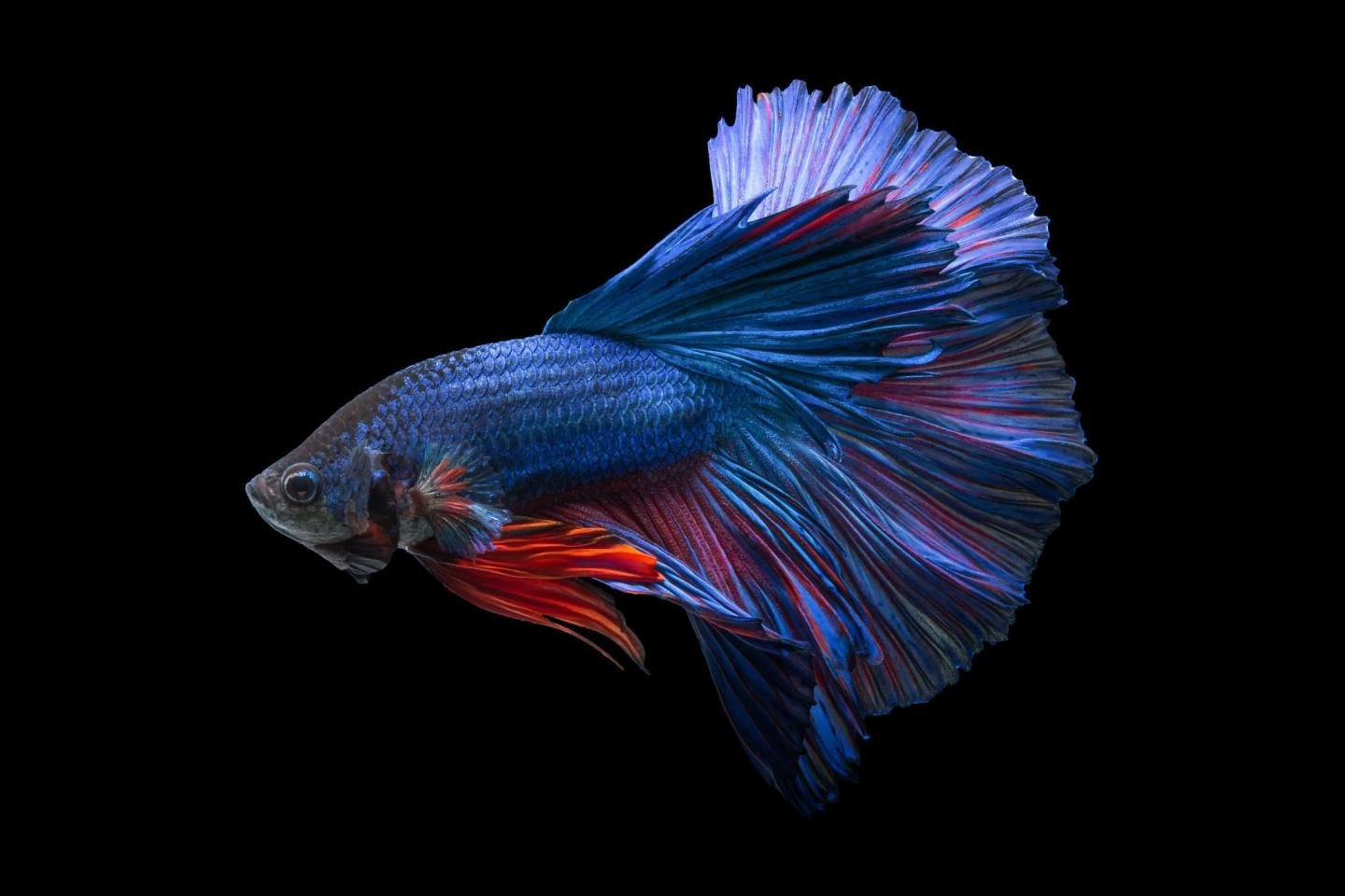 Free Betta high quality background ID:212074 for hd 1440x960 PC