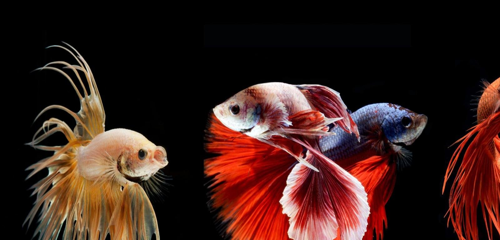 High resolution Betta hd 1600x768 background ID:212083 for computer