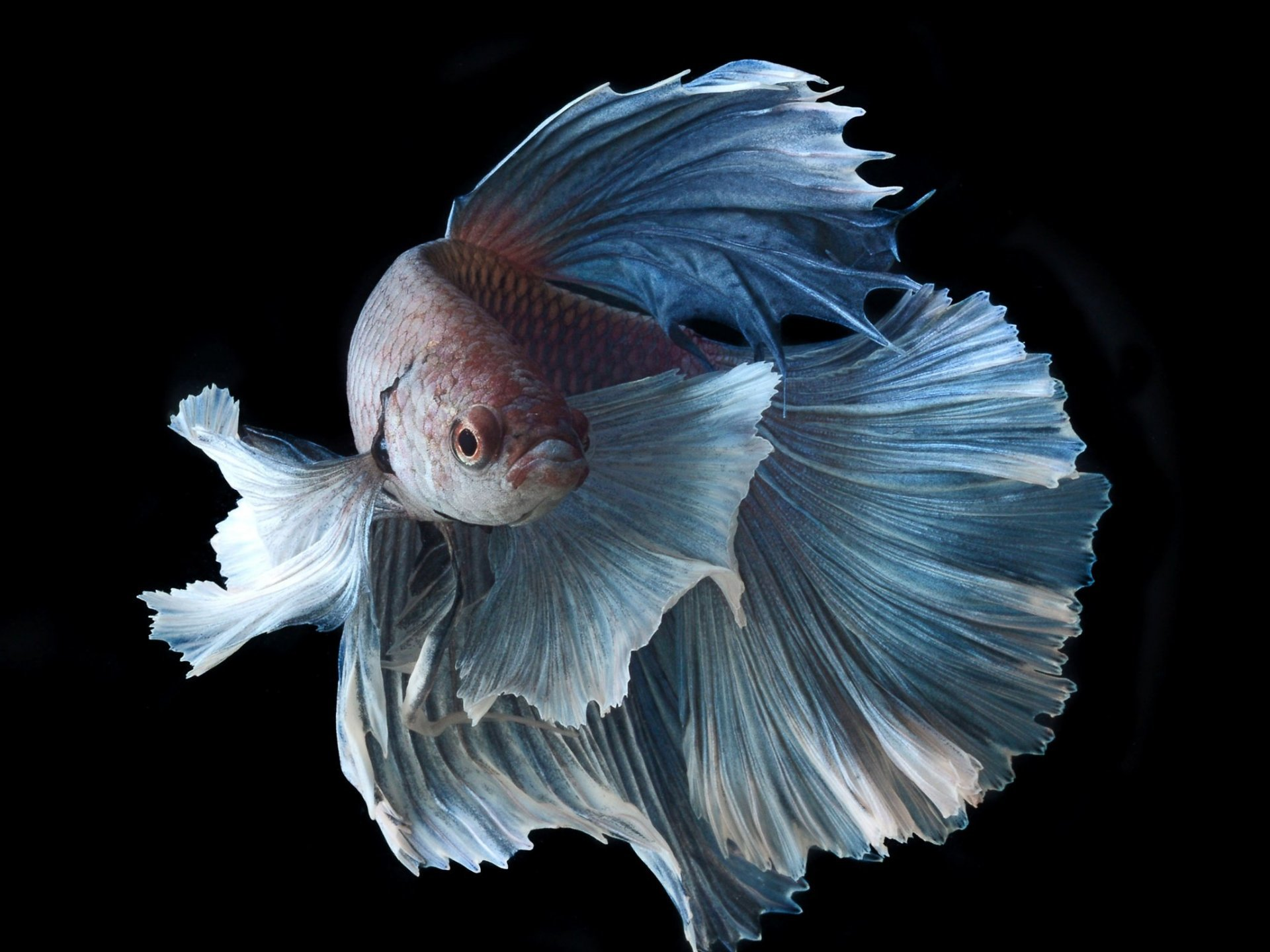 Awesome Betta free wallpaper ID:212087 for hd 1920x1440 PC