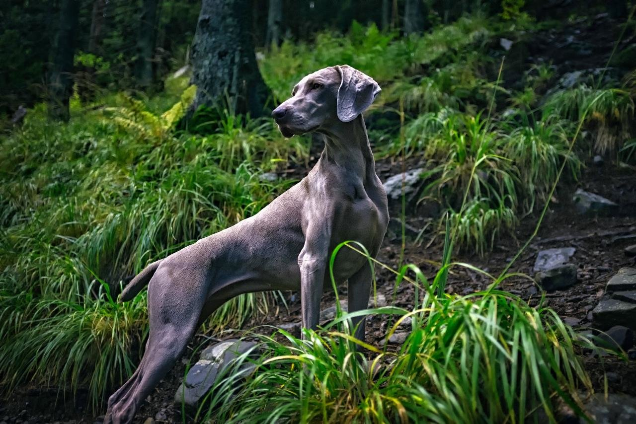 Awesome Weimaraner free background ID:9645 for hd 1280x854 PC
