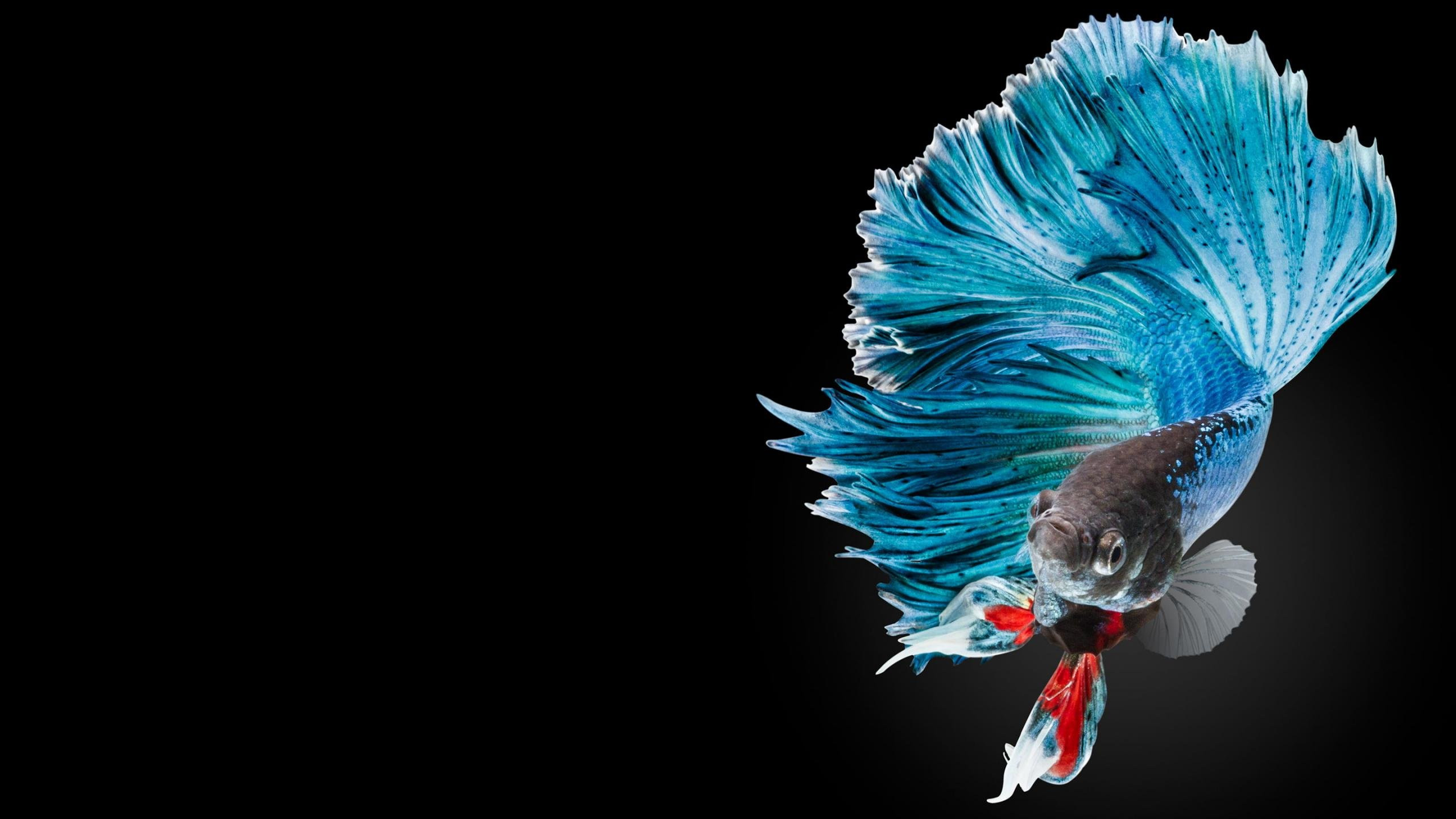 Awesome Betta free background ID:212082 for hd 2560x1440 desktop