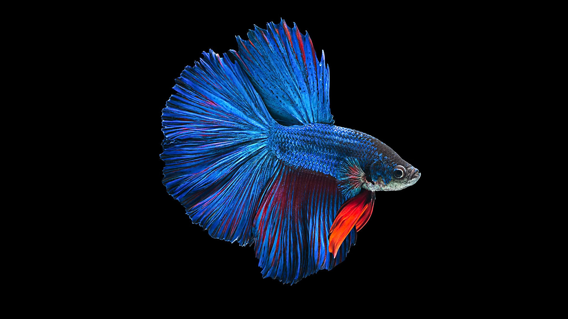 Awesome Betta free wallpaper ID:212080 for full hd 1920x1080 PC