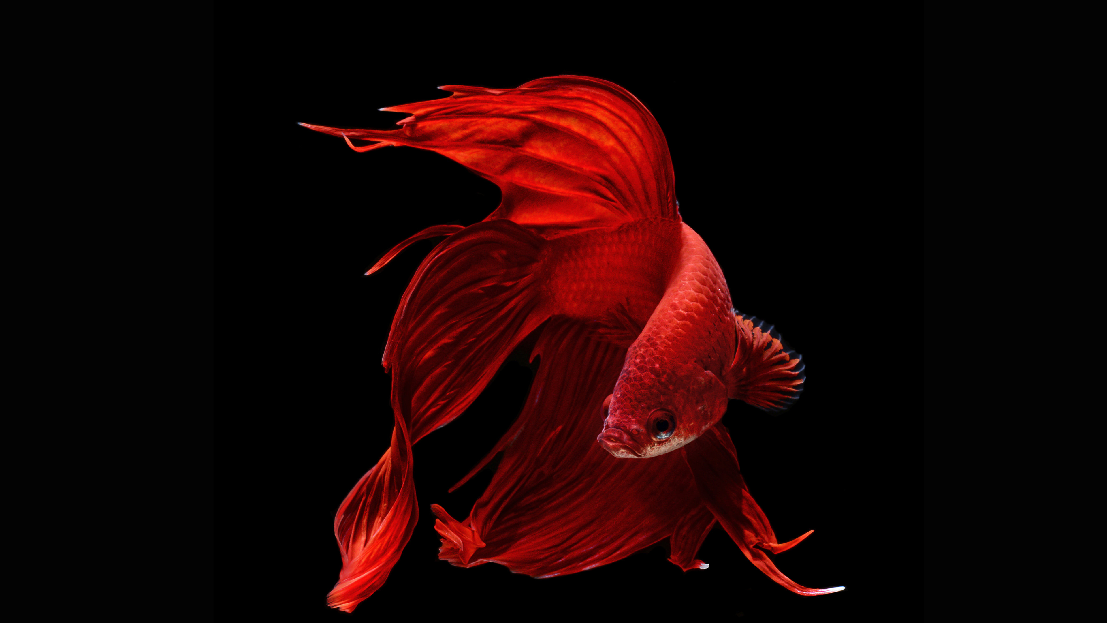 Free Betta high quality wallpaper ID:212072 for ultra hd 4k PC