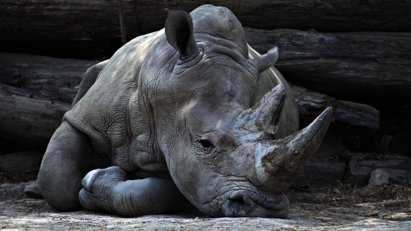 Awesome Rhino free background ID:20091 for hd 1600x900 PC