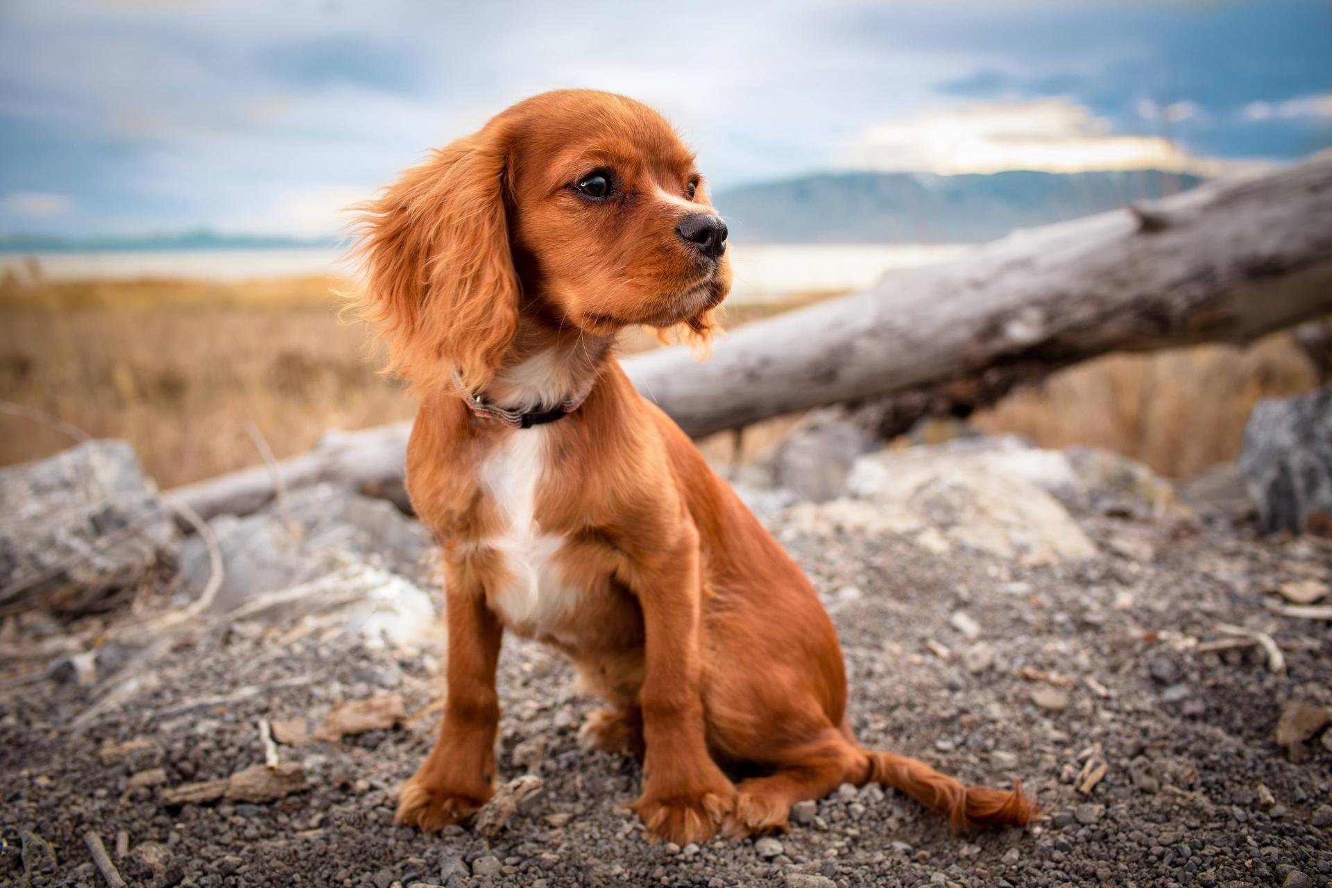 Free download Spaniel background ID:186007 hd 1920x1280 for computer