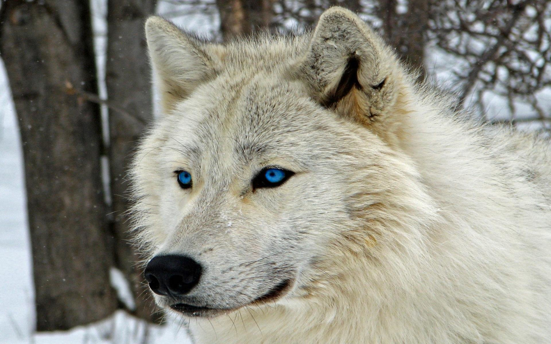 Best White Wolf wallpaper ID:118215 for High Resolution hd 1920x1200 PC