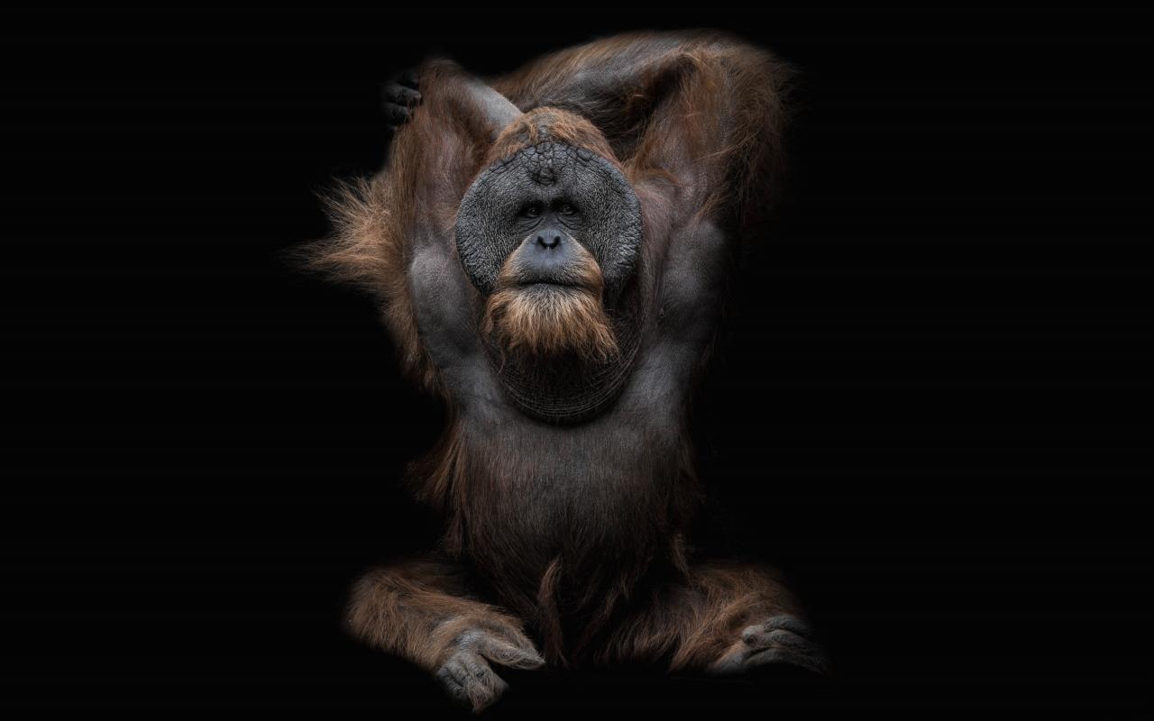Orangutan Wallpapers 1280x800 Desktop Backgrounds