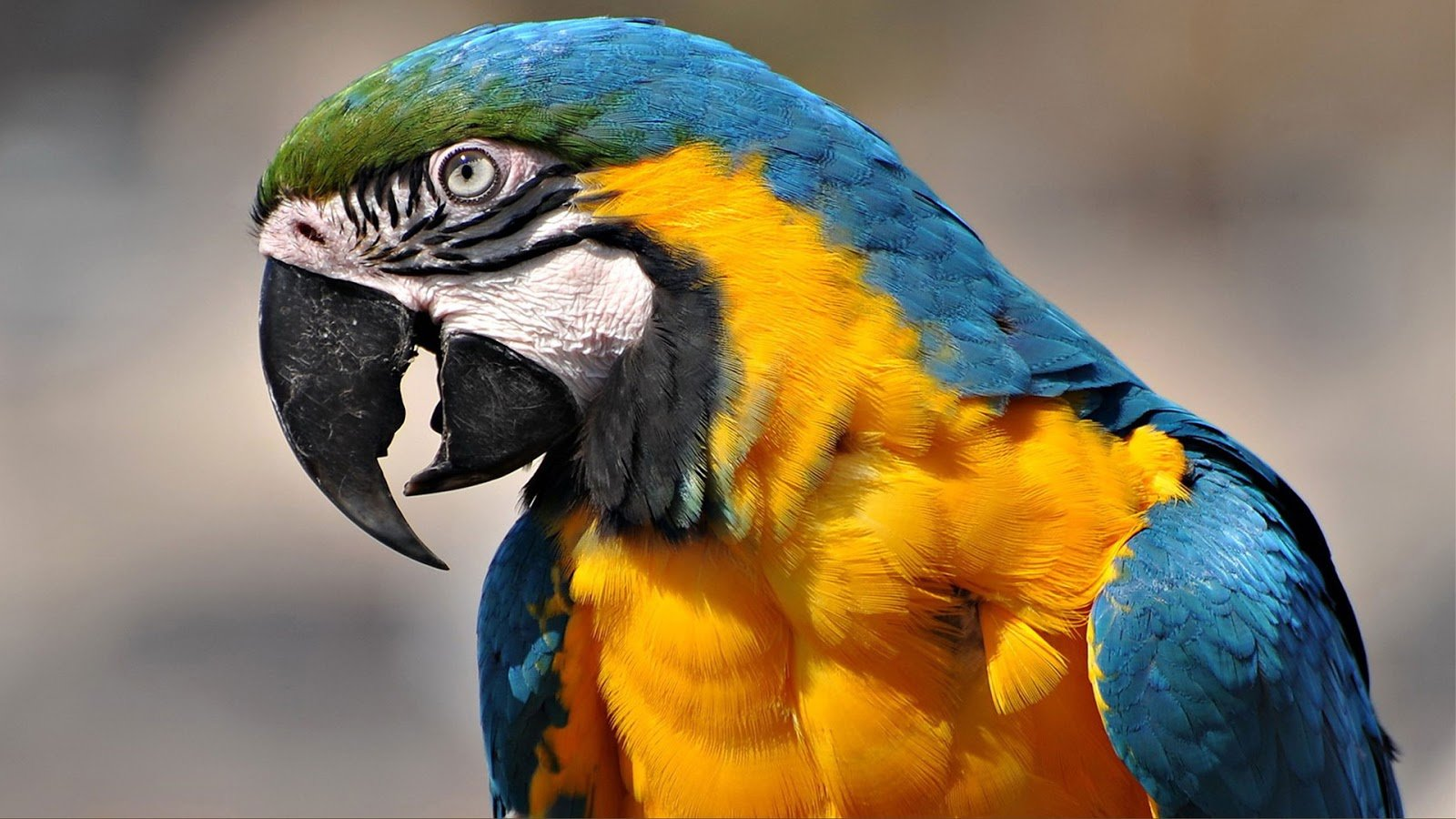 High resolution Macaw hd 1600x900 background ID:46452 for desktop