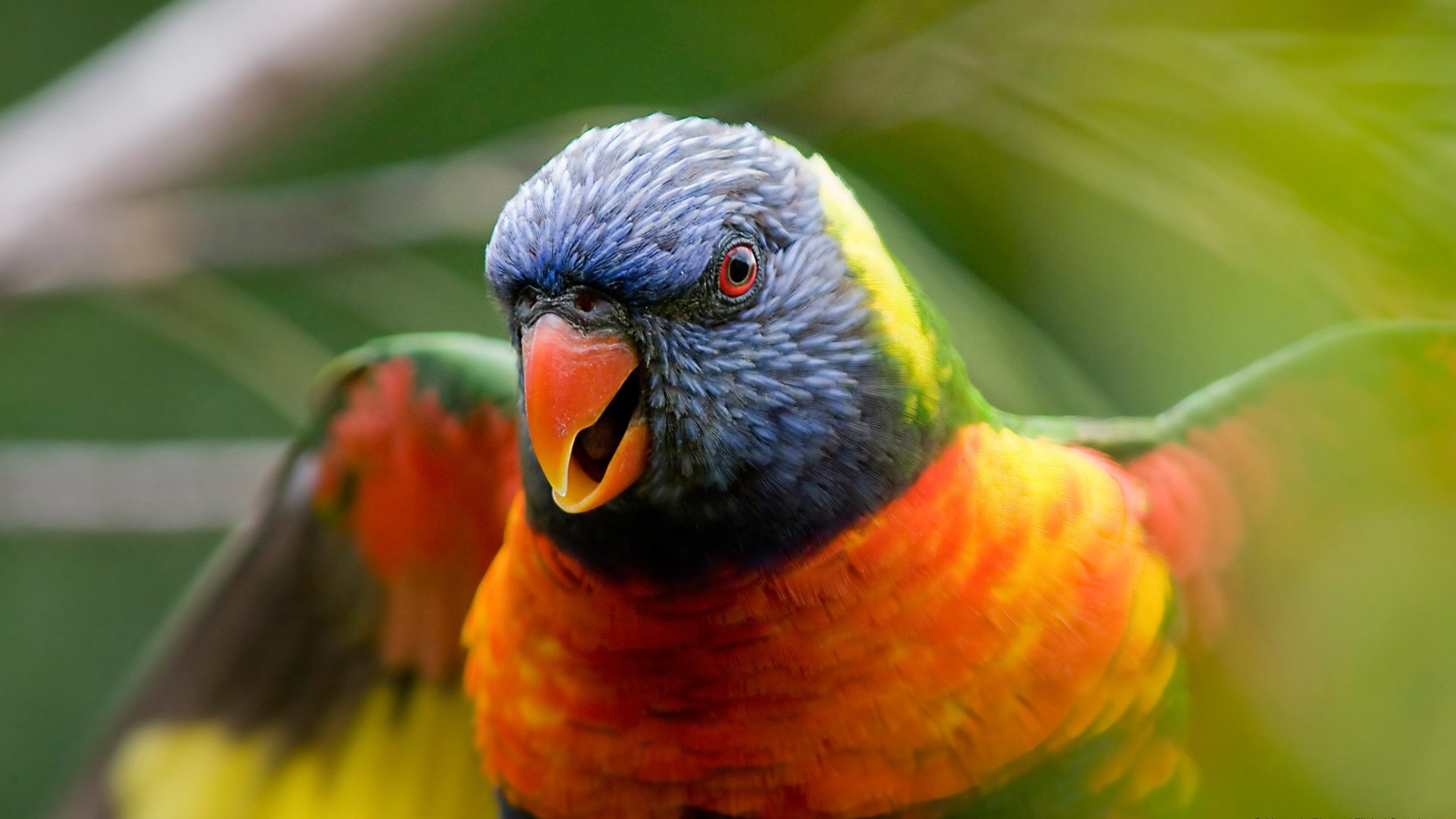Awesome Rainbow Lorikeet free wallpaper ID:10152 for full hd 1920x1080 computer