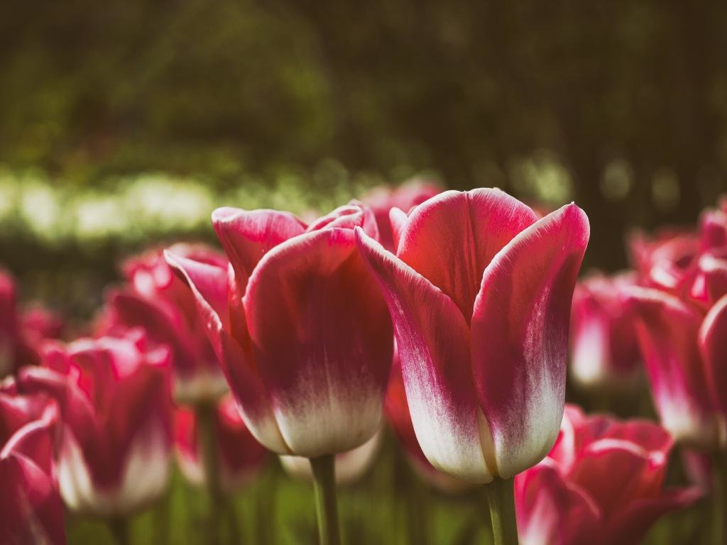 high resolution tulip hd 1024x768 background id 157814 for pc