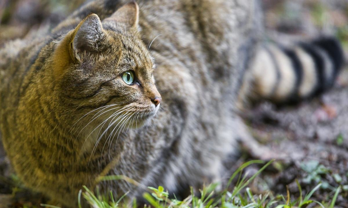 High resolution Wildcat hd 1200x720 background ID:467264 for computer