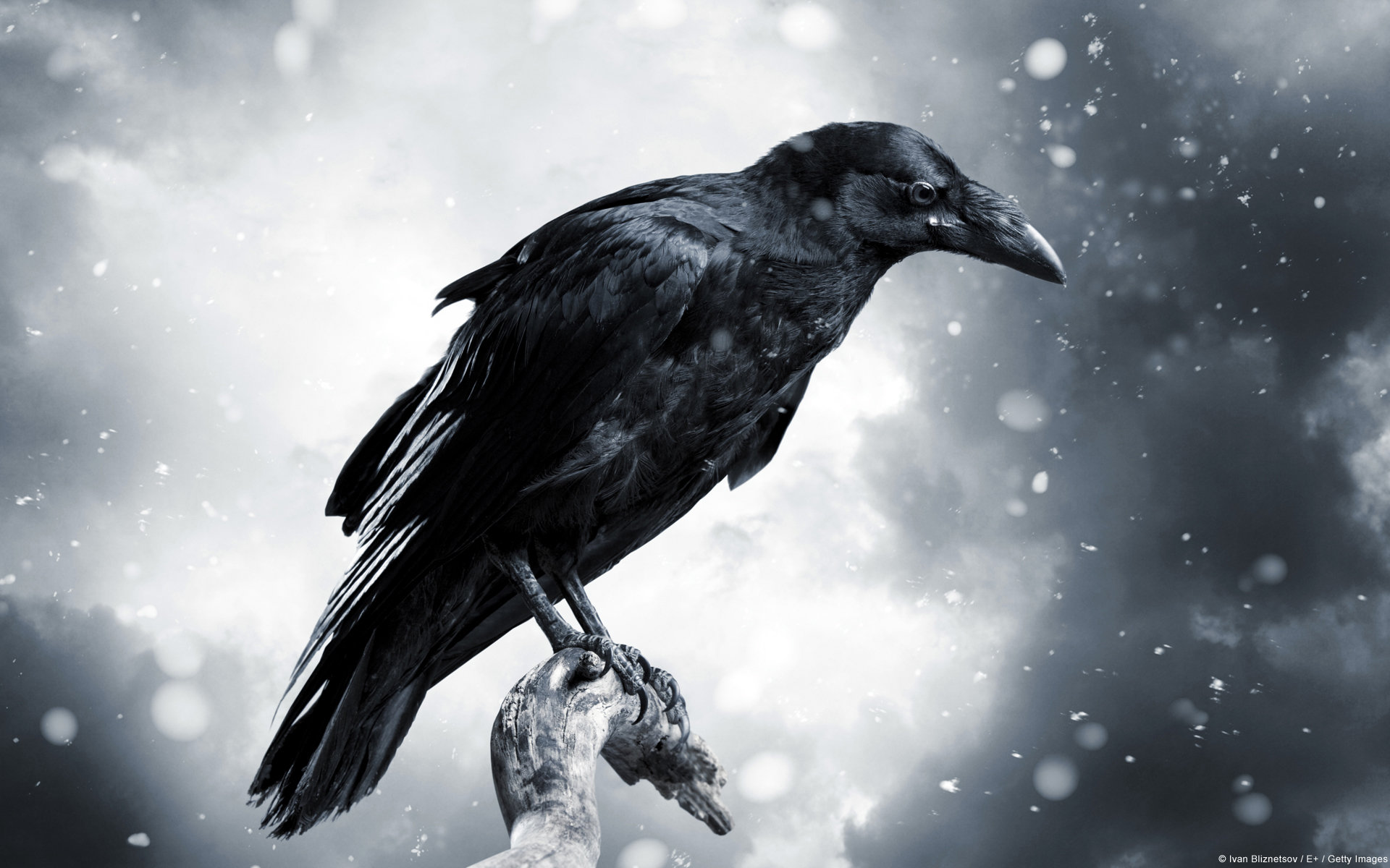 Free download Raven wallpaper ID:397354 hd 1920x1200 for computer