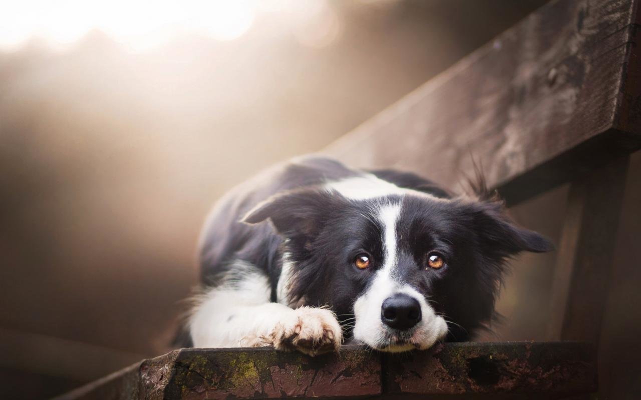 Free Border Collie high quality background ID:165897 for hd 1280x800 desktop