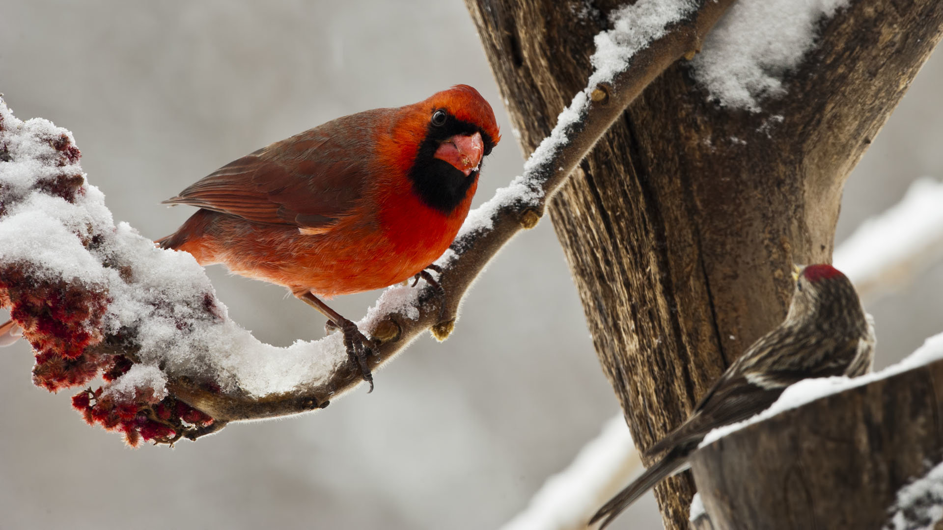 Awesome Cardinal free background ID:24696 for full hd 1920x1080 desktop