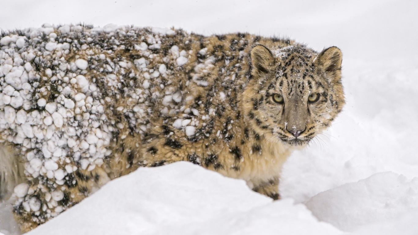 Free Snow Leopard high quality background ID:34542 for 1366x768 laptop computer