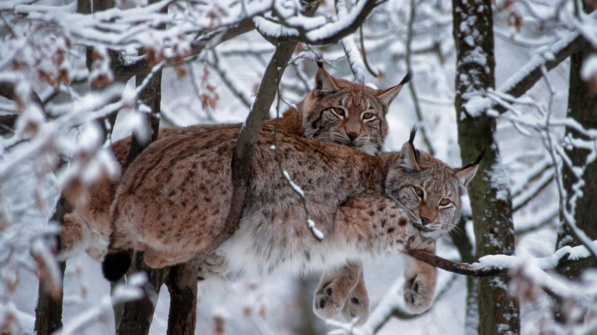 Best Lynx wallpaper ID:105714 for High Resolution 1080p PC
