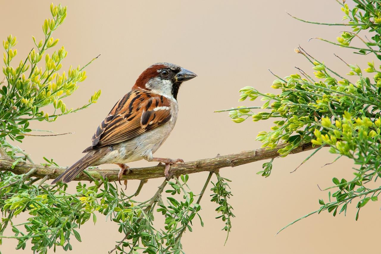 Free download Sparrow wallpaper ID:110708 hd 1280x854 for PC