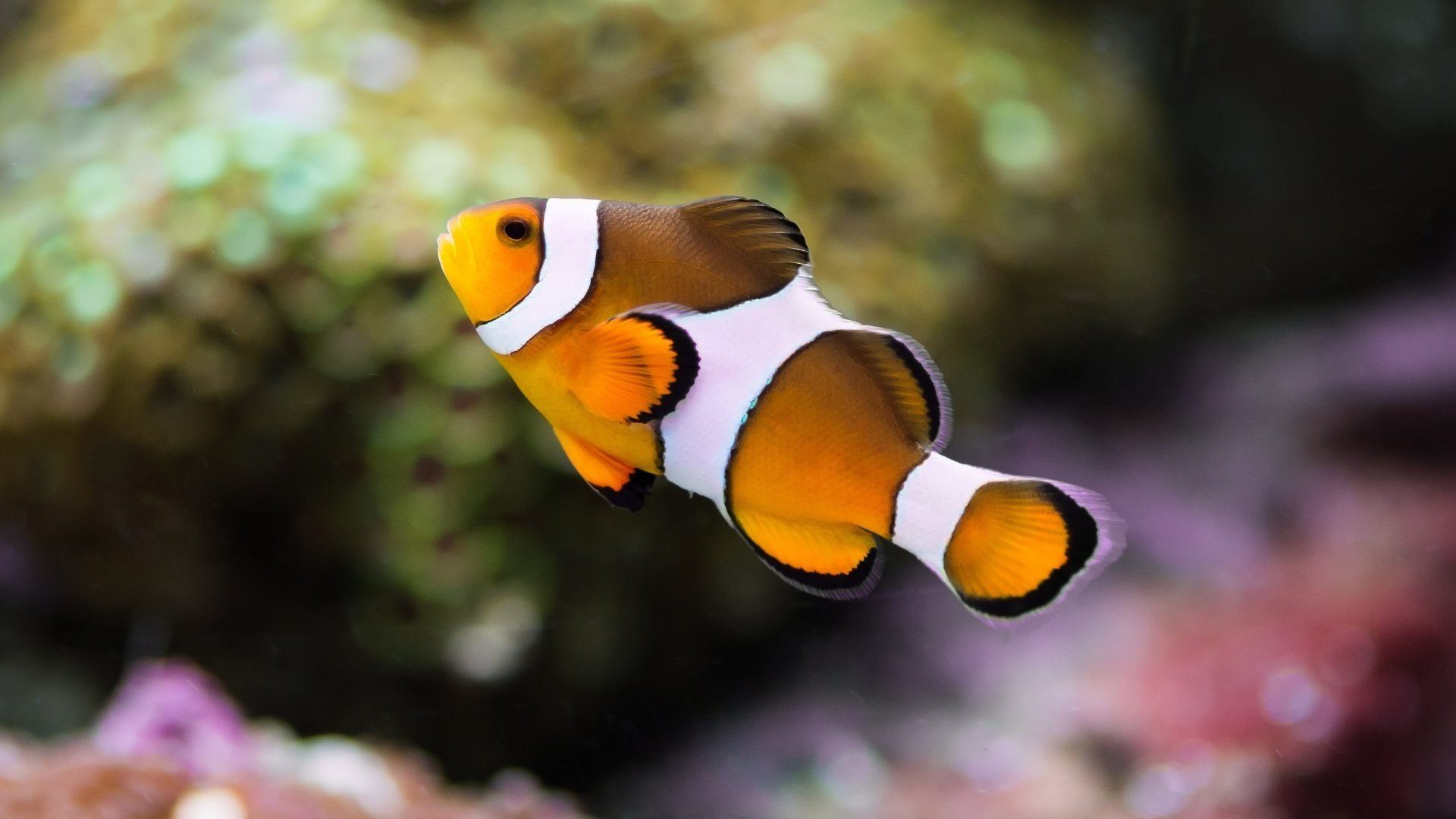 Free Clownfish high quality background ID:53260 for full hd 1920x1080 computer