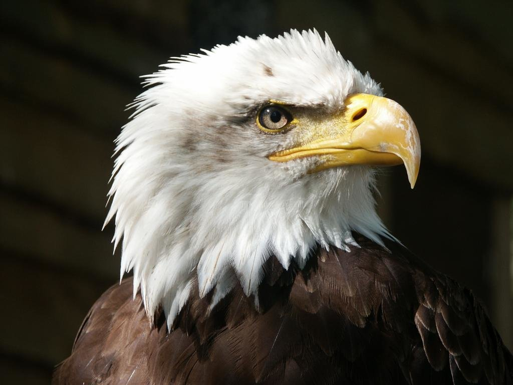 Awesome American Bald Eagle free wallpaper ID:68746 for hd 1024x768 PC