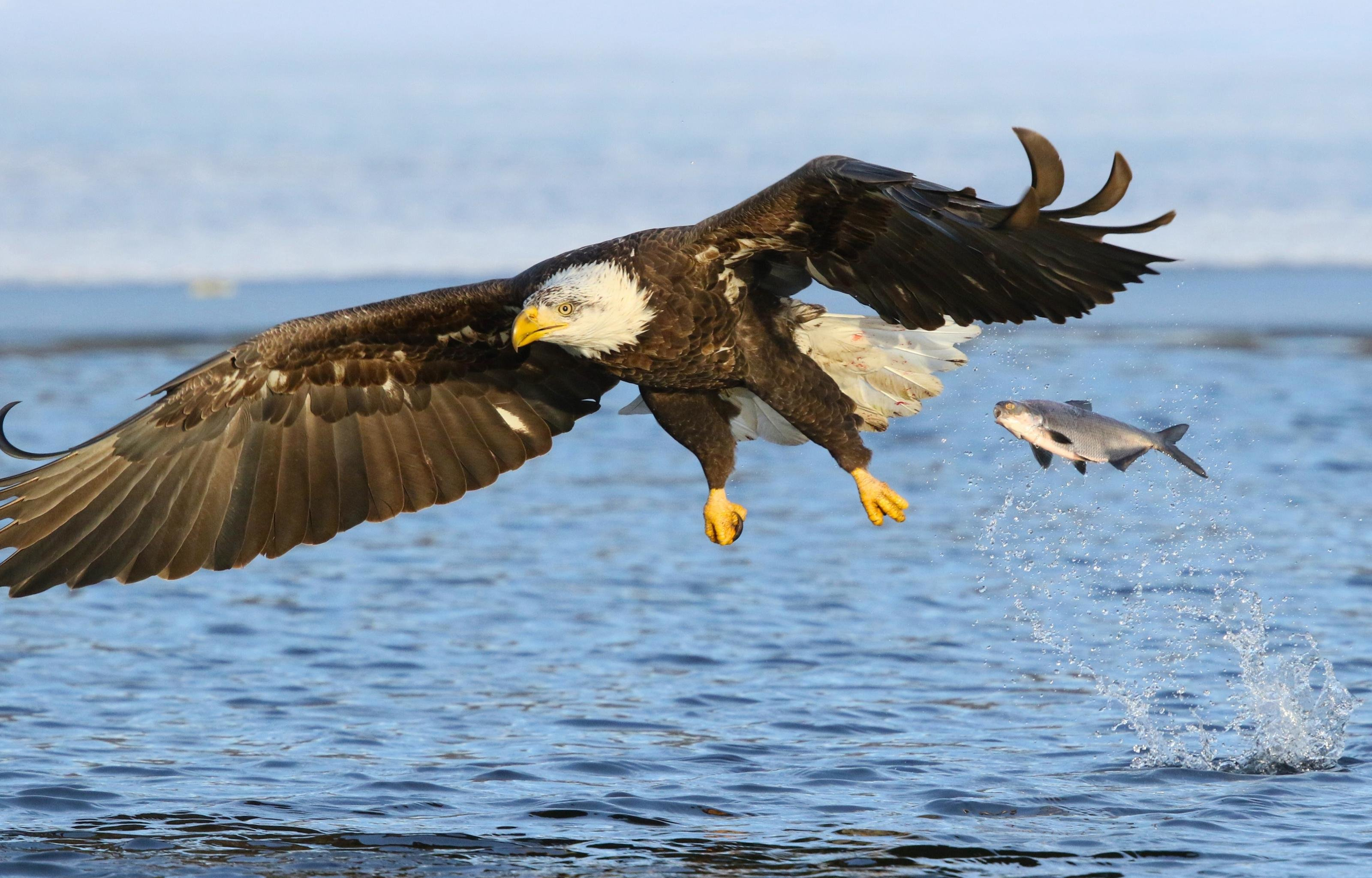 Best American Bald Eagle Wallpaper Id 68645 For High