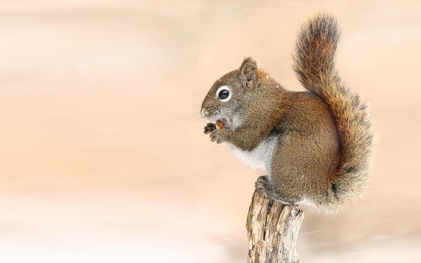 High resolution Squirrel hd 1440x900 background ID:311648 for PC