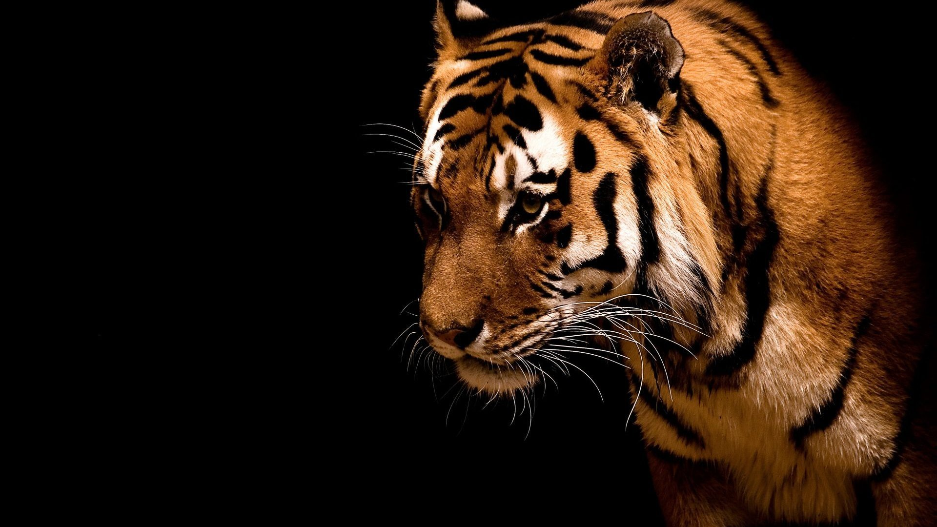 High resolution Tiger hd 1080p wallpaper ID:115616 for desktop
